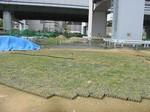 s3神戸震災復興記念公園ポット苗経過090526 003.jpg