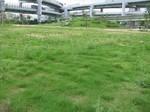 s3神戸震災復興記念公園養生経過090728 003.jpg